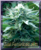 Emerald Triangle Bubba 76 Feminised 5 Seeds